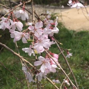 昭和記念公園12